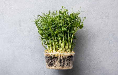 pea microgreen on gray background, top view, copy space