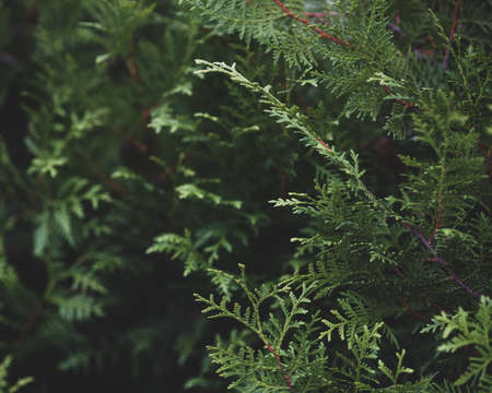 background of thuja smaragd branches, selective focus