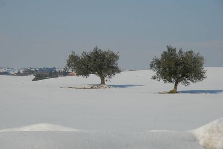 olive trees on the white snow in the country of Cupramarittima, marche region,Italy Stock Photo