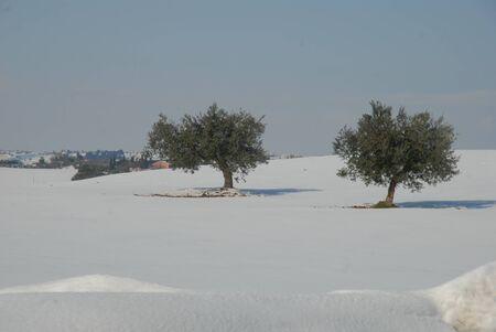 oliviers sur la neige blanche dans le pays d'Cupramarittima, la r�gion des Marches, en Italie