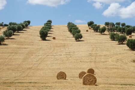 hayroll: Summer landscape over a cultivated hill, Marche region, Italy