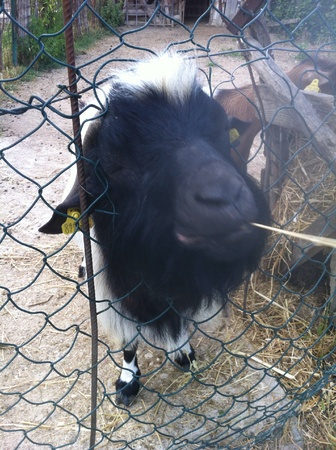 otganimalpets01: goat playing time