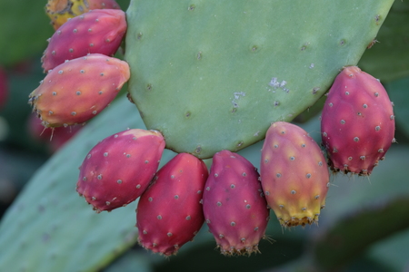 Indian fig or cactus pear closeup Stock Photo