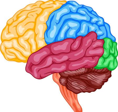 sistema nervioso central: Cerebro humano Vectores
