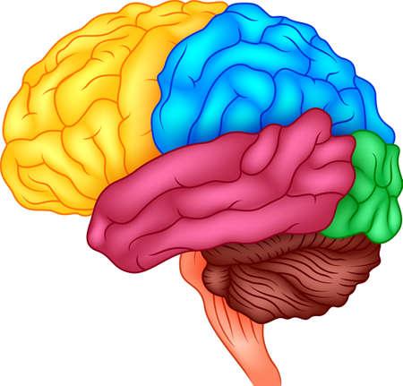 Menselijk brein Stock Illustratie