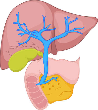 synthesis: human liver anatomy Illustration