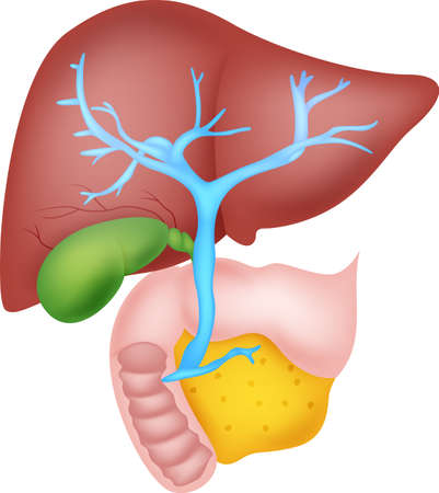 cystic duct: human liver anatomy Illustration