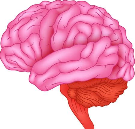 sistema nervioso central: Anatom?a del cerebro humano