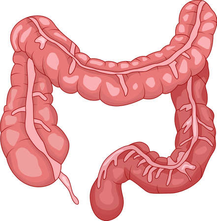 ileum: Human intestine anatomy Illustration
