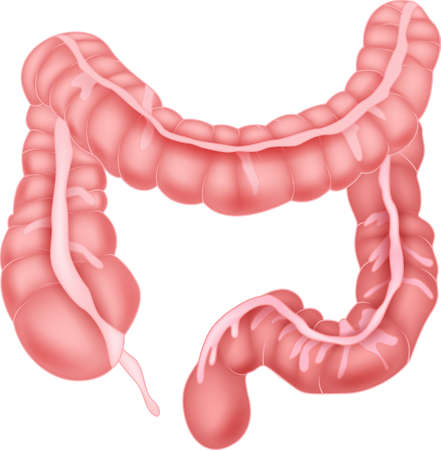 large intestine: Human intestine anatomy Illustration