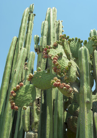 identifiable: Variaty of cactus found in Central Mexico. There are two identifiable species in the picture: Pachycereus marginatus, also known as Central Mexico Organ Pipe, and Opuntia ficus-indica, aka Prickly Pear or Nopal, a common ingredient in mexican cuisine. Stock Photo