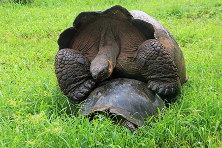 Galapagos giant tortoise mating, also called Galapagos turtle
