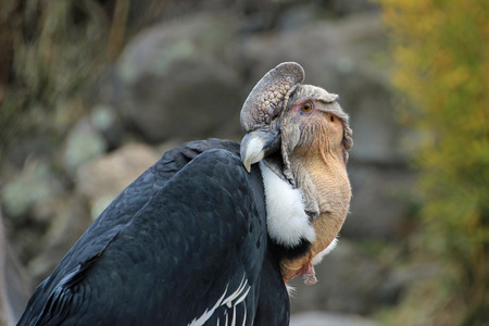 scavenger: Andean condor sitting and close up posing