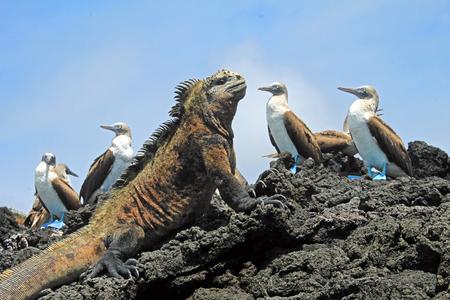 boobies: Marine iguana looking at the blue footed booby, boobies on Isabela Island in Galapagos, Ecuador. Galapagos, Ecuador