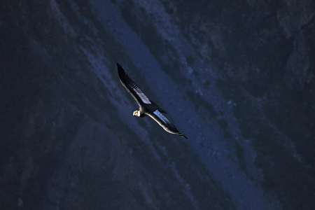 a large bird of prey: Male adult condor flying with the first sun into the deep Colca canyon and looking for food. The Colca canyon is one of the deepest canyons in the world, near the city of Arequipa in Peru.