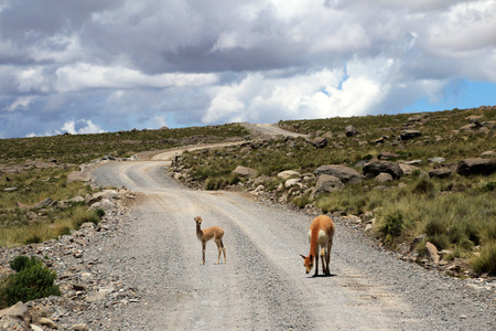 vicuna: An adult and a young vicuna standing on a gravel road in the andean highlands of Peru