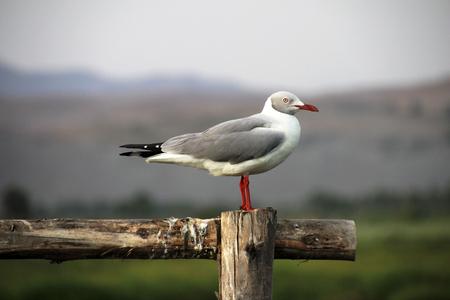 Grey headed seagull sitting on fence at laguna mejia Peru, nice red beak