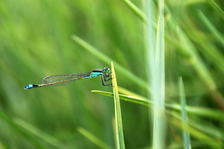 laguna: Very nice blue green dragonfly closeup, laguna mejia Peru Stock Photo