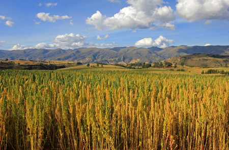 Red and yellow quinoa field in the andean highlands of Peru near Cusco Imagens