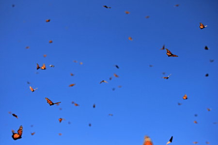 migrating: Monarch Butterflies in Michoacan, Mexico, millions are migrating every year and waking up with the sun.
