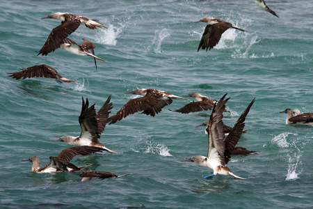 booby: Hundreds of blue footed boobies flying and fishing, Galapagos, Ecuador Stock Photo