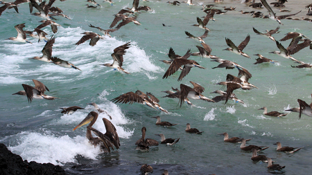 boobies: Hundreds of blue footed boobies flying and fishing, Galapagos, Ecuador Stock Photo