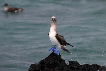 boobies: Blue footed booby, sula nebouxii, Galapagos Ecuador Stock Photo