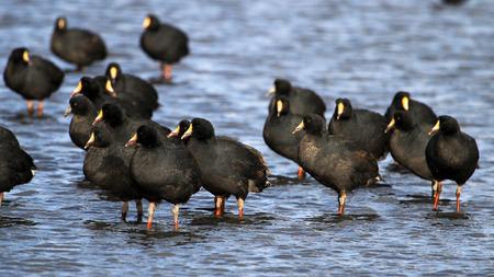 avaroa: Giant coots, lake Tajsara, southern Bolivia South America