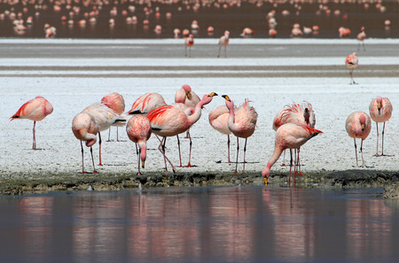 James flamingos, phoenicoparrus jamesi, also known as the puna flamingo, are populated in high altitudes of andean mountains in Peru, Chile, Bolivia and Argentina