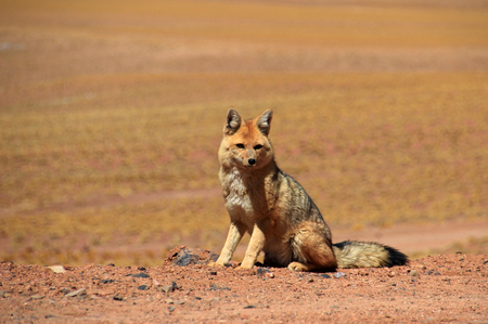 Andean fox, lycalopex culpaeus, also known as culpeo, zorro culpeo or andean wolf. Near Paso Sico, Atacama desert, Chile