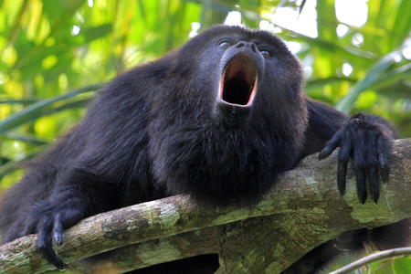 Black howler monkey, aluatta pigra, sitting on a tree in Belize jungle and howling like crazy. They are also found in Mexico and Guatemala. They are eating mostly leaves and occasional fruits.