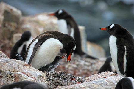 penguins on beach: Young gentoo penguin beging food beside adult gentoo penguin, Antarctica Peninsula.