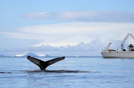 Humpback whale tail with ship, boat, showing on the dive, Antarctic Peninsula Stock Photo