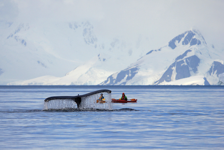Humpback whale tail with ship, boat, showing on the dive, Antarctic Peninsula Reklamní fotografie