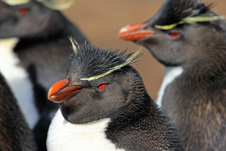 Rockhopper penguin in the rookery, Falkland Islands Stock Photo