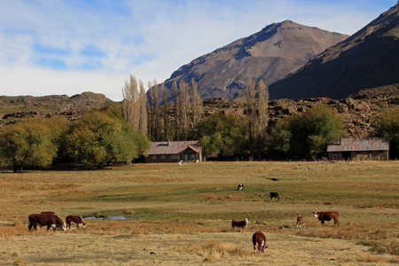Cows and farm on a field in Patagonia, Argentina