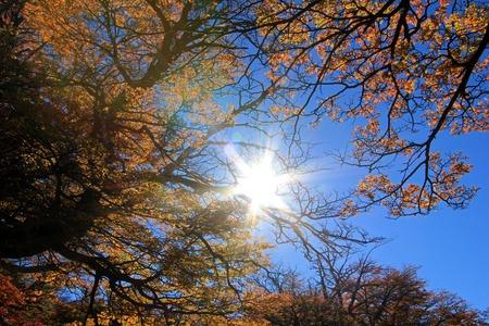 cerro fitzroy: Golden forest trees near the Fitz Roy in autumn, El Chalten, Patagonia, Argentina