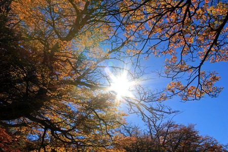 Golden forest trees near the Fitz Roy in autumn, El Chalten, Patagonia, Argentina