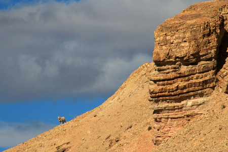ruta: A lonely sheep on the horizon standing on the mountain, Chubut, Argentina