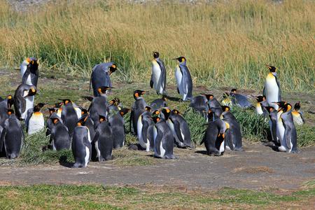 Parque Pinguino 레이, 티에라 델 푸 에고, 파타고니아, 칠레에서 야생의 왕 펭귄