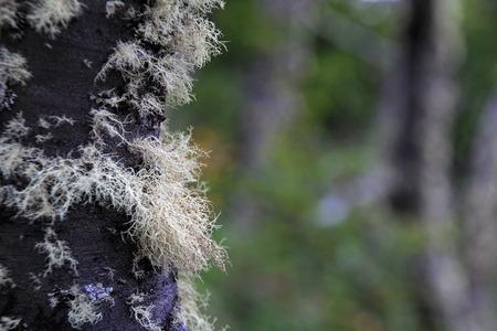 Lenga beech tree forest, Nothofagus Pumilio, Reserva Nacional Laguna Parrillar, near Punta Arenas, Patagonia, Chile Stock Photo