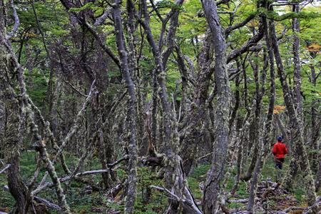 fagaceae: Lenga beech tree forest, Nothofagus Pumilio, Reserva Nacional Laguna Parrillar, near Punta Arenas, Patagonia, Chile Stock Photo