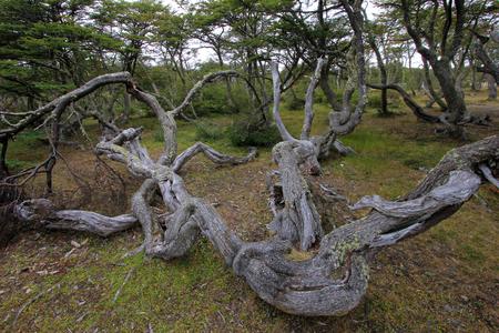 Lenga beech tree forest, Nothofagus Pumilio, Reserva Nacional Laguna Parrillar, near Punta Arenas, Patagonia, Chile Imagens