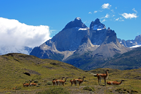 Guanacos in Torres del Paine National Park, Patagonia, Chile