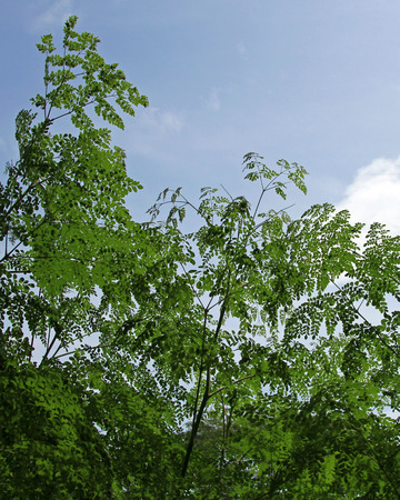 Moringa leaves, alternative medicine plant, Costa Rica