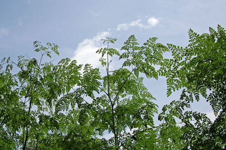 mlonge: Moringa leaves, alternative medicine plant, Costa Rica