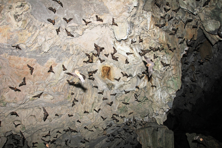 Bats flying in Lanquin Cave, Guatemala, Central America