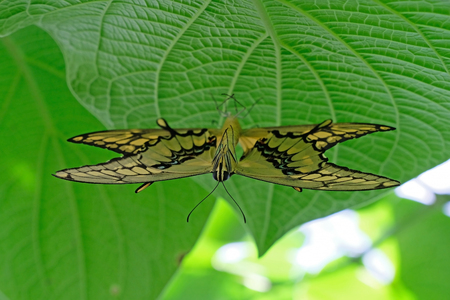 Mating pair of Machaon Butterflies, old world swallowtail, papilio machaon Stock Photo