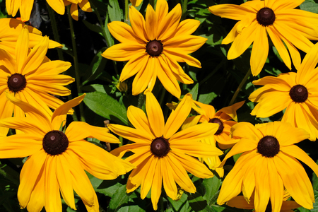 Rudbeckia hirta, commonly called Black Eyed Susan, Mainau Island, Germany, Europe Stock Photo