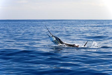 pez vela: Big Fish en medio del mar.